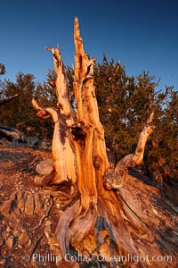 Image 23233, Ancient bristlecone pine tree, rising above the arid, dolomite-rich slopes of the Schulman Grove in the White Mountains at an elevation of 9500 above sea level, along the Methuselah Walk.  The oldest bristlecone pines in the world are found in the Schulman Grove, some of them over 4700 years old. Ancient Bristlecone Pine Forest. White Mountains, Inyo National Forest, California, USA, Pinus longaeva, Phillip Colla, all rights reserved worldwide. Keywords: ancient, ancient bristlecone, ancient bristlecone pine forest, ancient bristlecone pine tree, bristlecone, bristlecone pine, bristlecone pine tree, california, dolomite, environment, forest, gnarled, great basin bristlecone pine, grove, growth, inyo national forest, lifespan, longevity, methuselah trail, methuselah walk, morning, mountain, national forests, nature, old, old growth, outdoors, outside, pine, pine tree, pinus longaeva, plant, portfolio, rock, schulman grove, soil, summer, sunrise, terrestrial plant, time, tree, twisted, usa, western bristlecone pine, white mountains, white mountains inyo national forest.