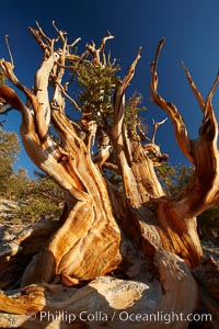 Ancient bristlecone pine tree, rising above the arid, dolomite-rich slopes of the Schulman Grove in the White Mountains at an elevation of 9500 above sea level, along the Methuselah Walk.  The oldest bristlecone pines in the world are found in the Schulman Grove, some of them over 4700 years old. Ancient Bristlecone Pine Forest, Pinus longaeva, White Mountains, Inyo National Forest
