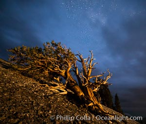 Image 28783, Ancient Bristlecone Pine Tree at night, stars and the Milky Way galaxy visible in the evening sky, near Patriarch Grove. Ancient Bristlecone Pine Forest, White Mountains, Inyo National Forest, California, USA, Pinus longaeva, Phillip Colla, all rights reserved worldwide. Keywords: ancient, ancient bristlecone, ancient bristlecone pine forest, ancient bristlecone pine tree, astrophotography, bristlecone, bristlecone pine, bristlecone pine tree, california, dolomite, dusk, environment, evening, forest, galaxy, gnarled, great basin bristlecone pine, grove, growth, inyo national forest, landscape astrophotography, lifespan, longevity, methuselah trail, methuselah walk, milky way, milky way galaxy, morning, mountain, national forests, nature, night, nightscape, old, old growth, outdoors, outside, pine, pine tree, pinus longaeva, plant, rock, schulman grove, soil, stars, summer, sunrise, terrestrial plant, time, tree, twisted, usa, western bristlecone pine, white mountains, white mountains inyo national forest.