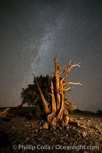 Ancient Bristlecone Pine Tree at night, stars and the Milky Way galaxy visible in the evening sky, near Patriarch Grove, Pinus longaeva, Ancient Bristlecone Pine Forest, White Mountains, Inyo National Forest