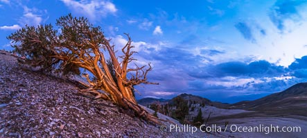 Ancient Bristlecone Pine Tree at sunset, panorama, with storm clouds passing over the White Mountains.  The eastern Sierra Nevada is just visible in the distance, Pinus longaeva, Ancient Bristlecone Pine Forest, White Mountains, Inyo National Forest