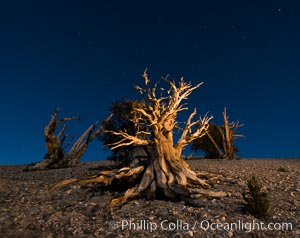 Image 28528, Ancient bristlecone pine trees at night, under a clear night sky full of stars, lit by a full moon, near Patriarch Grove. White Mountains, Inyo National Forest, California, USA, Pinus longaeva