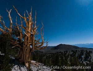 Ancient bristlecone pine trees at night, under a clear night sky full of stars, lit by a full moon, near Patriarch Grove. White Mountains, Inyo National Forest, California, USA, Pinus longaeva, natural history stock photograph, photo id 28532