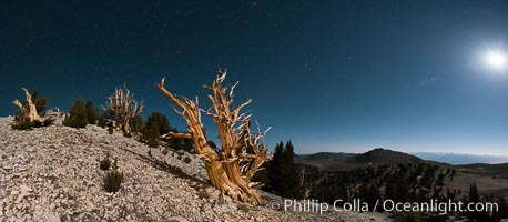 Ancient bristlecone pine trees at night, under a clear night sky full of stars, lit by a full moon, near Patriarch Grove. White Mountains, Inyo National Forest, California, USA, Pinus longaeva, natural history stock photograph, photo id 28533