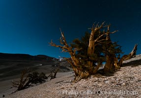Ancient bristlecone pine trees at night, under a clear night sky full of stars, lit by a full moon, near Patriarch Grove. White Mountains, Inyo National Forest, California, USA, Pinus longaeva, natural history stock photograph, photo id 28534