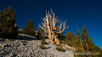 Ancient bristlecone pine trees in Patriarch Grove, display characteristic gnarled, twisted form as it rises above the arid, dolomite-rich slopes of the White Mountains at 11000-foot elevation. Patriarch Grove, Ancient Bristlecone Pine Forest. White Mountains, Inyo National Forest, California, USA, Pinus longaeva, natural history stock photograph, photo id 28525