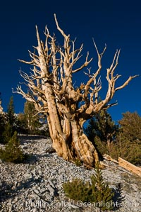 Image 28526, Ancient bristlecone pine trees in Patriarch Grove, display characteristic gnarled, twisted form as it rises above the arid, dolomite-rich slopes of the White Mountains at 11000-foot elevation. Patriarch Grove, Ancient Bristlecone Pine Forest. White Mountains, Inyo National Forest, California, USA, Pinus longaeva, Phillip Colla, all rights reserved worldwide. Keywords: ancient, ancient bristlecone, ancient bristlecone pine forest, ancient bristlecone pine tree, bristlecone, bristlecone pine, bristlecone pine tree, california, dolomite, environment, forest, gnarled, great basin bristlecone pine, grove, growth, inyo national forest, lifespan, longevity, mountain, national forests, nature, old, old growth, outdoors, outside, patriarch grove, pine, pine tree, pinus longaeva, plant, rock, soil, terrestrial plant, time, tree, twisted, usa, western bristlecone pine, white mountains, white mountains inyo national forest.