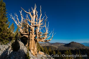 Ancient bristlecone pine trees in Patriarch Grove, display characteristic gnarled, twisted form as it rises above the arid, dolomite-rich slopes of the White Mountains at 11000-foot elevation. Patriarch Grove, Ancient Bristlecone Pine Forest, Pinus longaeva, White Mountains, Inyo National Forest