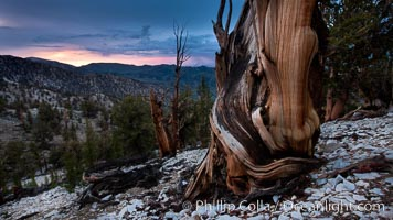 Sunset over Patriarch Grove and White Mountains.  An ancient bristlecone pine tree at sunset, White Mountains, Inyo National Forest