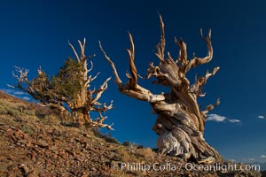 Ancient bristlecone pine trees in the White Mountains, at an elevation of 10,000' above sea level.  These are some of the oldest trees in the world, reaching 4000 years in age, Pinus longaeva, Ancient Bristlecone Pine Forest, White Mountains, Inyo National Forest