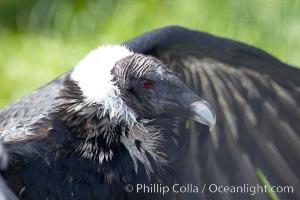 Andean condor, Vultur gryphus
