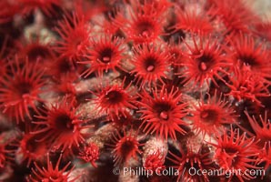 Anemone polyps, Punte Vicente Roca