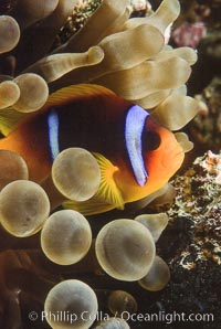 Two band anemonefish. Egyptian Red Sea, Amphiprion bicinctus, natural history stock photograph, photo id 05266