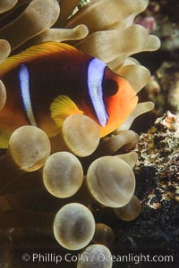Two band anemonefish. Egyptian Red Sea, Amphiprion bicinctus, natural history stock photograph, photo id 05260