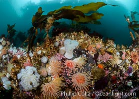 Anemones and kelp cover a colorful reef in British Columbia, near Queen Charlotte Strait and Vancouver Island.  Strong tidal currents bring rich nutrients to the invertebrates clinging to these rocks