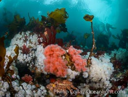 Colorful anemones and soft corals, bryozoans and kelp cover the rocky reef in a kelp forest near Vancouver Island and the Queen Charlotte Strait.  Strong currents bring nutrients to the invertebrate life clinging to the rocks. British Columbia, Canada, Metridium senile, Gersemia rubiformis, natural history stock photograph, photo id 34378