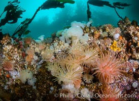 Colorful anemones and soft corals, bryozoans and kelp cover the rocky reef in a kelp forest near Vancouver Island and the Queen Charlotte Strait.  Strong currents bring nutrients to the invertebrate life clinging to the rocks. British Columbia, Canada, natural history stock photograph, photo id 34382