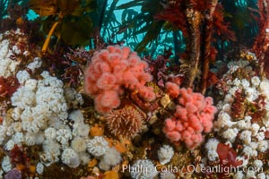 Colorful anemones and soft corals, bryozoans and kelp cover the rocky reef in a kelp forest near Vancouver Island and the Queen Charlotte Strait.  Strong currents bring nutrients to the invertebrate life clinging to the rocks, Metridium senile