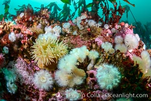 Colorful anemones and soft corals, bryozoans and kelp cover the rocky reef in a kelp forest near Vancouver Island and the Queen Charlotte Strait.  Strong currents bring nutrients to the invertebrate life clinging to the rocks. British Columbia, Canada, Metridium senile, natural history stock photograph, photo id 34429