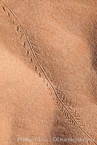 Animal tracks in sand. Valley of Fire State Park, Nevada, USA, natural history stock photograph, photo id 26478