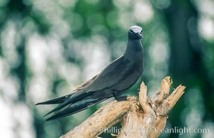 Image 00896, Brown noddy. Rose Atoll National Wildlife Sanctuary, American Samoa, USA, Anous stolidus, Phillip Colla, all rights reserved worldwide. Keywords: above water, american samoa, animal, animalia, anous, anous stolidus, aves, bird, brown noddy, charadriiformes, chordata, creature, laridae, marine national monuments, national wildlife refuges, nature, oceans, pacific, rose atoll, rose atoll marine national monument, rose atoll national wildlife refuge, rose atoll national wildlife sanctuary, samoa, seabird, stolidus, usa, vertebrata, vertebrate.