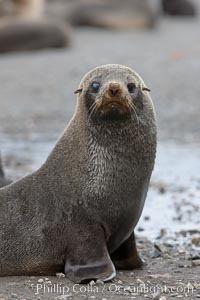 Antarctic fur seal, with injured or diseased right eye, Arctocephalus gazella, Right Whale Bay