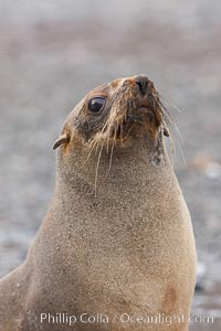 Antarctic fur seal, portrait showing long whiskers and large eyes effective for nocturnal foraging and hunting underwater, Arctocephalus gazella, Right Whale Bay