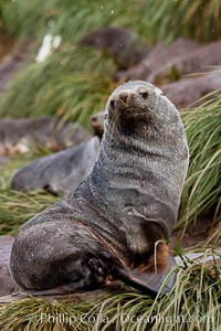 Antarctic fur seal, adult male (bull). Hercules Bay, South Georgia Island, Arctocephalus gazella, natural history stock photograph, photo id 24425