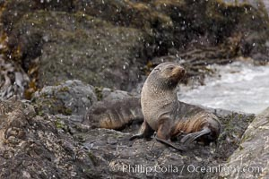 Antarctic fur seal, snowing, on rocky shoreline, Arctocephalus gazella, Hercules Bay