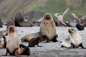 Adult male bull Antarctic fur seal, amid his harem of females and juvenile fur seals, Arctocephalus gazella, Right Whale Bay