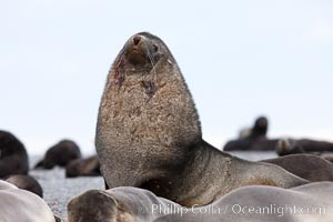 Adult male bull Antarctic fur seal, amid his harem of females and juvenile fur seals. Right Whale Bay, South Georgia Island, Arctocephalus gazella, natural history stock photograph, photo id 24337