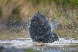 An antarctic fur seal pup plays in the water, Arctocephalus gazella, Fortuna Bay