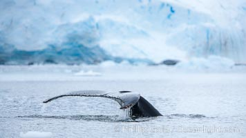 Antarctic humpback whale, raising its fluke (tail) before diving, Neko Harbor, Antarctica. Antarctic Peninsula, Megaptera novaeangliae, natural history stock photograph, photo id 25737