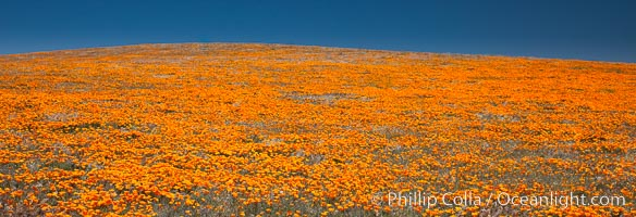 California poppies, hillside of brilliant orange color, Lancaster, CA, Eschscholzia californica, Eschscholtzia californica, Antelope Valley California Poppy Reserve SNR