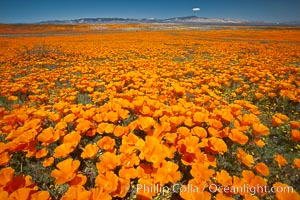 California poppies, wildflowers blooming in huge swaths of spring color in Antelope Valley. Lancaster, California, USA, Eschscholzia californica, Eschscholtzia californica, natural history stock photograph, photo id 25229