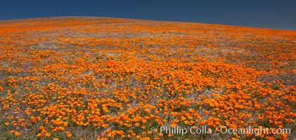 California poppies, hillside of brilliant orange color, Lancaster, CA. Antelope Valley California Poppy Reserve SNR, Lancaster, California, USA, Eschscholzia californica, Eschscholtzia californica, natural history stock photograph, photo id 25231