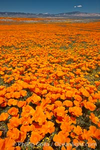 California poppies, wildflowers blooming in huge swaths of spring color in Antelope Valley, Eschscholzia californica, Eschscholtzia californica, Lancaster