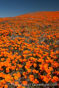 California poppies, hillside of brilliant orange color, Lancaster, CA. Antelope Valley California Poppy Reserve SNR, Lancaster, California, USA, Eschscholzia californica, Eschscholtzia californica, natural history stock photograph, photo id 25235