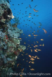 Anthias schooling over coral reef. Egyptian Red Sea, Egypt, Anthias, Pseudanthias, natural history stock photograph, photo id 05248