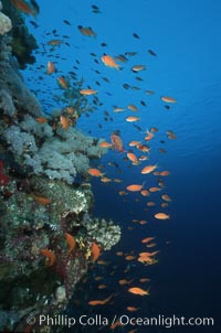 Anthias schooling over coral reef. Egyptian Red Sea, Egypt, Anthias, Pseudanthias, natural history stock photograph, photo id 05251