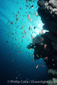 Anthias schooling over coral reef. Egyptian Red Sea, Egypt, Anthias, Pseudanthias, natural history stock photograph, photo id 05252