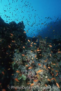 Anthias schooling over coral reef. Egyptian Red Sea, Egypt, Anthias, Pseudanthias, natural history stock photograph, photo id 05256