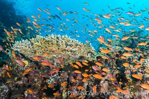 Anthias fairy basslet fish school over a Fijian coral reef, polarized and swimming together again a strong current. Fiji. Fiji, Pseudanthias, natural history stock photograph, photo id 31426