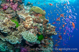 Anthias fairy basslet fish school over a Fijian coral reef, polarized and swimming together again a strong current. Fiji. Vatu I Ra Passage, Bligh Waters, Viti Levu  Island, Fiji, Pseudanthias, natural history stock photograph, photo id 31632