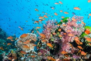 Anthias fairy basslet fish school over a Fijian coral reef, polarized and swimming together again a strong current. Fiji, Dendronephthya, Pseudanthias