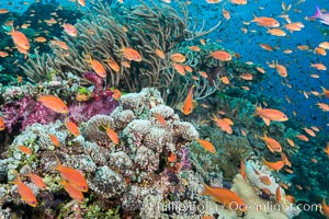 Anthias fairy basslet fish school over a Fijian coral reef, polarized and swimming together again a strong current. Fiji, Pseudanthias