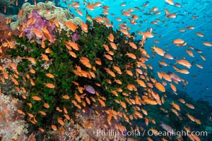 Anthias fish school around green fan coral, Fiji, Pseudanthias