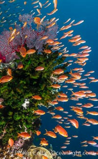 Anthias fish school around green fan coral, Fiji. Bligh Waters, Fiji, Pseudanthias, natural history stock photograph, photo id 35014