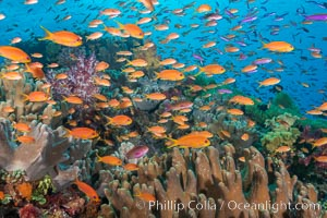Brilliantly colored orange and pink anthias fishes, schooling in strong ocean currents next to the coral reef which is their home. Fiji. Bligh Waters, Fiji, Pseudanthias, natural history stock photograph, photo id 34796