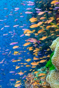 Brilliantly colored orange and pink anthias fishes, schooling in strong ocean currents next to the coral reef which is their home. Fiji, Pseudanthias, Bligh Waters